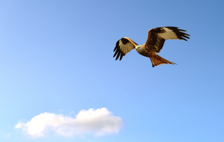 A Red Kite in flight on the blue sky