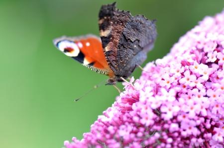 peacock butterfly: Una mariposa pavo real en lila flor.