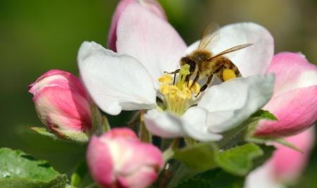 Bir elma çiçeği Busy Bee Stock Photo