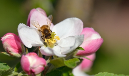 bee pollen: Busy Bee in an apple blossom Stock Photo