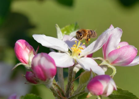 Busy bee hovers over an apple blossom