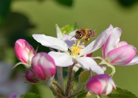 Meşgul arı bir elma çiçeği, üzerinde gezinen