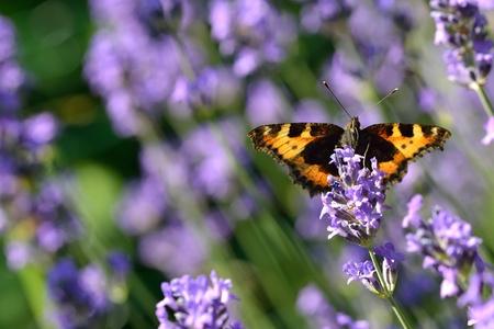 nymphalis: Large Tortoiseshell (Nymphalis polychloros) on a lavender flower.