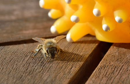 A honeybee on a wooden table