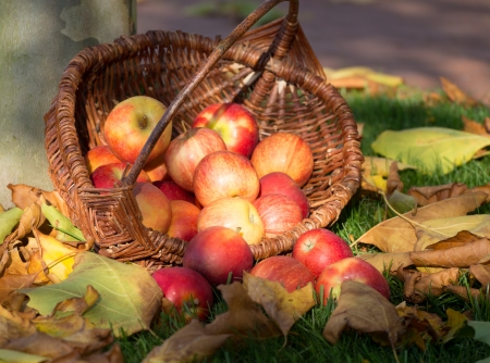 Wicker basket with red apples on a meadow with autumn leaves. Stock Photo