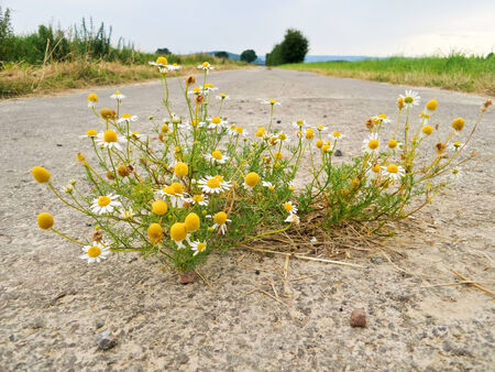 Chamomile grows out on a road in the middle of the asphalt. Stock Photo