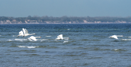Swans on the Baltic Sea Stock Photo