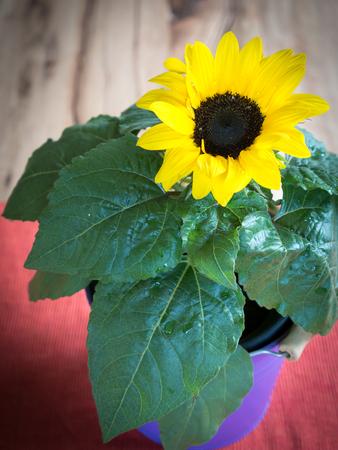 Sunflower in purple pot