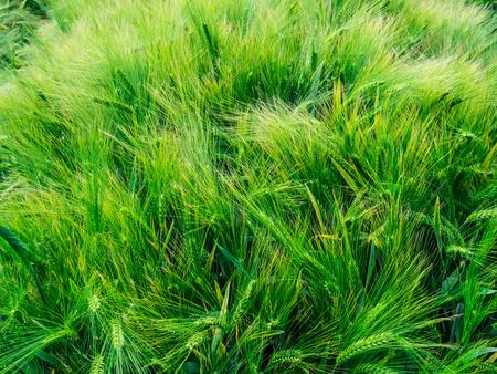 june: Green barley awns in June Stock Photo