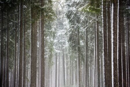 Sun rays breaking through the snow-covered trees
