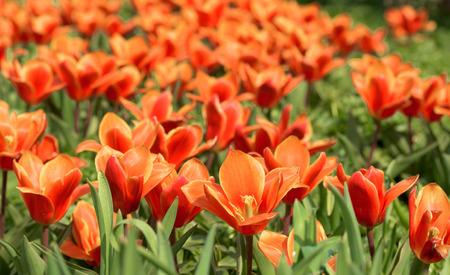 Orange tulips in April