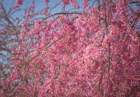 Tender pink in spring