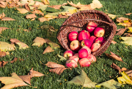 Wicker basket with red apples on a lawn with autumn leaves. Standard-Bild