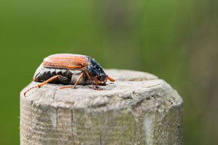 Cockchafer on a pole