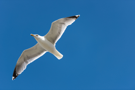 Sea Gull on the blue sky looking at you