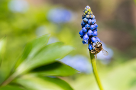 Bee on a Muscari with blurred green background Standard-Bild