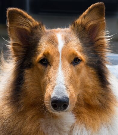 Rough Collie, Scottish Sheepdog