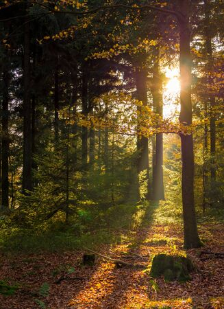 The low warm autumn sun shines through the deciduous forest Standard-Bild