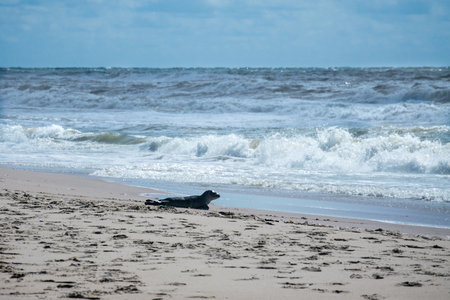 Seal on the beach in Denmark Standard-Bild