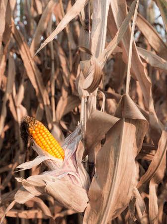 A ripe corncob on the plant Standard-Bild
