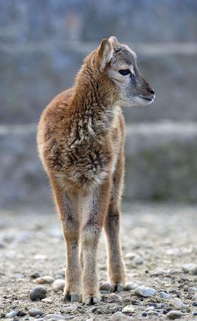 mouflon: Beb� Mouflon cabra Foto de archivo