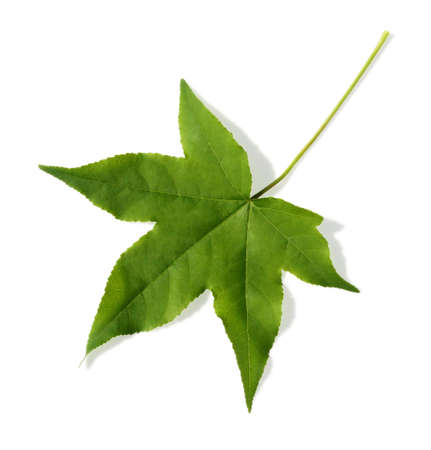 phytology: Maple leaf on white background.  This image includes a hand drawn clipping path for maximum flexibility.  If the drop-shadow isnt desired, it can be quickly be removed by using the clipping path