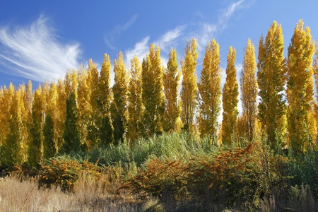 Autumn poplar trees complimented by blue skies photo