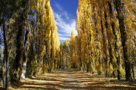 Avenue of poplar trees in autumn in the Eastern Free State, South Africa photo