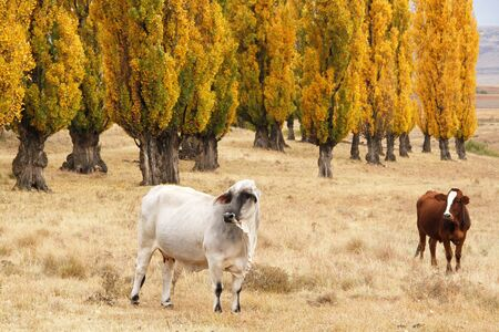 poplars: Cattle in an autumn field surrounded by golden poplars Stock Photo