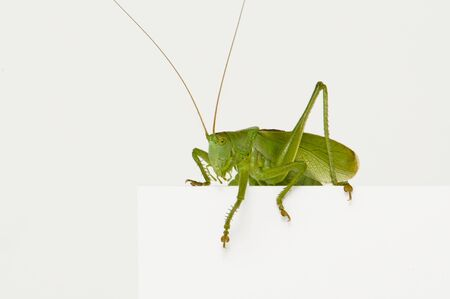 lateral eyes: Grasshopper sitting on a blank space watching Stock Photo