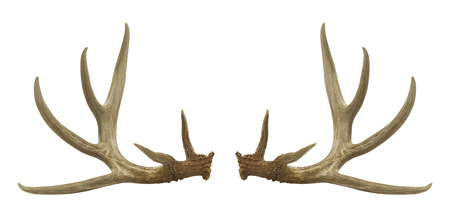 Two Deer Antlers Isolated on a White Background.