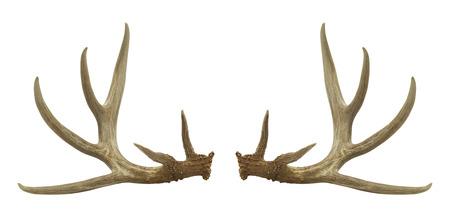 venado: Dos astas de ciervo aislado en un fondo blanco.