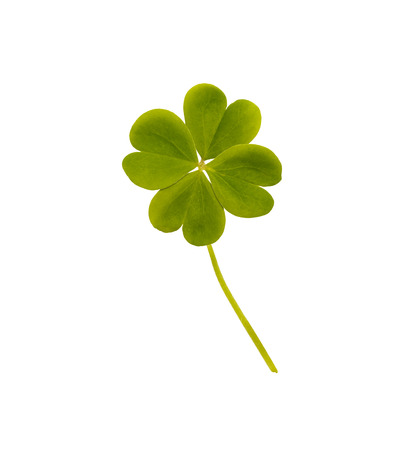 white clover: Green Four Leaf Clover Isolated on White Backgound. Stock Photo