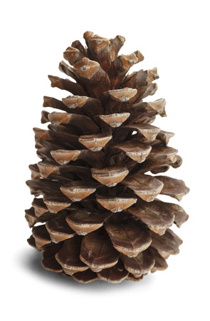 pine three: Brown pine cone isolated on white background.