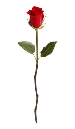 Einzelne Rose Einzeln auf weißem Hintergrund. Standard-Bild - 38286095