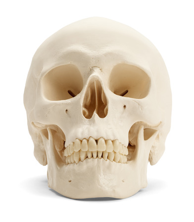 calaveras: Vista frontal del cr�neo humano aislado sobre fondo blanco. Foto de archivo