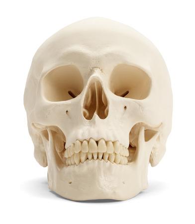 scheletro umano: Vista frontale del cranio umano isolato su sfondo bianco.