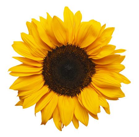 Gelbe Sonnenblume isoliert auf weißem Hintergrund. Standard-Bild - 38286692