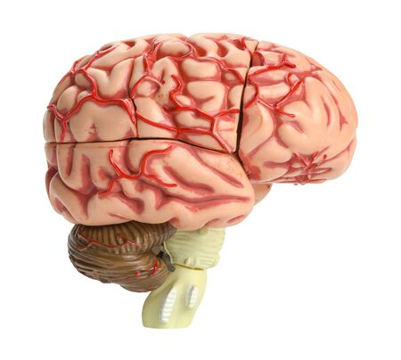 human brain: Human Brain Model Side View Isolated on White Background.