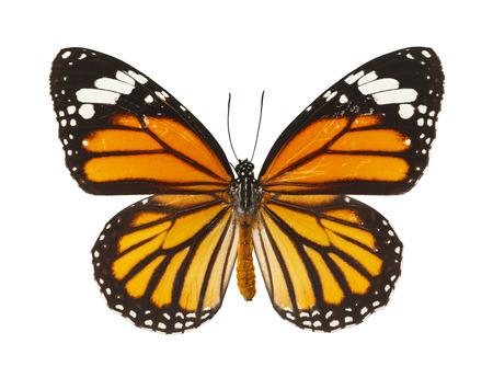Insecte papillon aux ailes ouvertes isolé sur fond blanc.