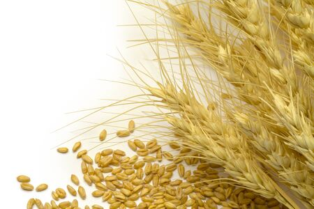 stalk: Wheat Stocks and Scattered Grain On White Background. Stock Photo