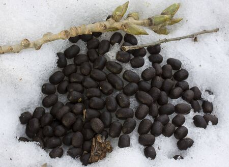 shit: fresh droppings of whitetail deer on snow in a riparian forest in northern Colorado;  loose pellets indicate that deer was eating foods that are high in fiber, such as leaves and other browse