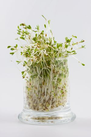 Green alfalfa sprouts growing in a glass on white background