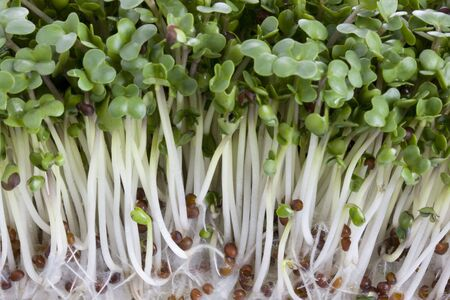 Macro shot of broccoli sprouts growing