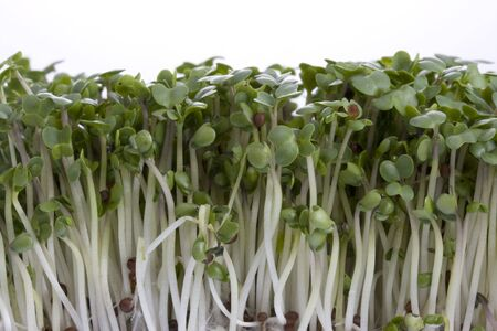 growing broccoli sprouts shot against white background, copy space Stock Photo - 2668102