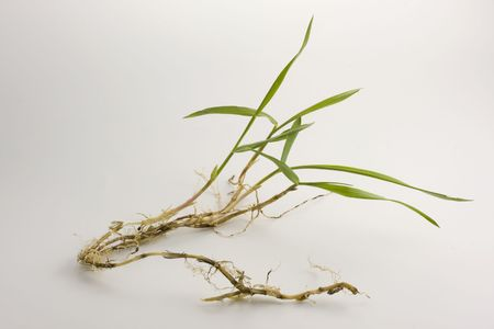 a nice specimen of crabgrass with roots and new leaves fresh from my garden Banco de Imagens