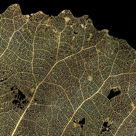 dried poplar tree leaf with vein structure on black Stock Photo - 3160274