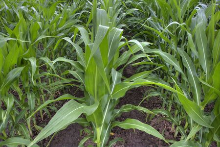 irrigated: irrigated field of green corn growing in summer