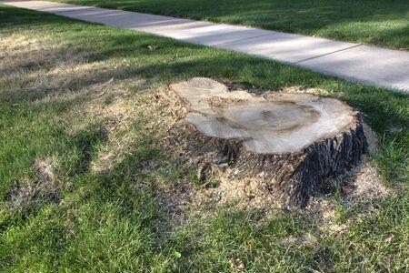 recently: A stump from recently cut big tree on a lawn near sidewalk