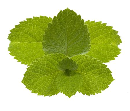 fresh mint leaves isolated on white as a nearly symmetrical pattern Stock Photo - 3565298
